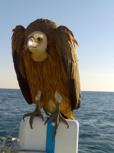 griffin vulture hitchhiking on liferaft